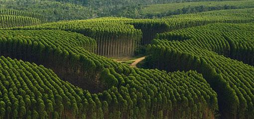 Astilla de eucalipto para generar vapor y electricidad