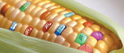 El 30 % del maíz grano sembrado en España es transgénico