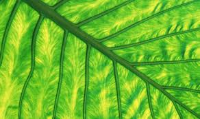 Biocombustible más eficientes gracias a la manipulación genética