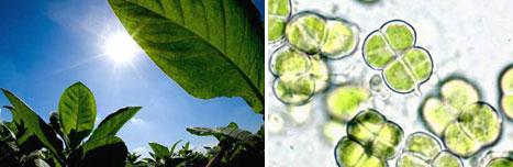 Tabaco ¿un biocombustible con futuro?